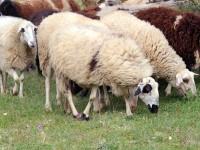 Kρούσματα ευλογιάς σε πρόβατα στη χώρα μας