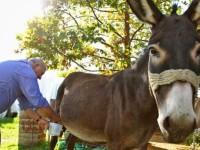 Απελευθέρωση στο… γάλα της γαϊδούρας