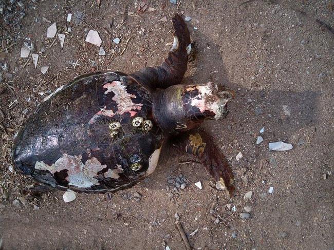Νεκρές caretta caretta στην παραλία της Αμφιλοχίας