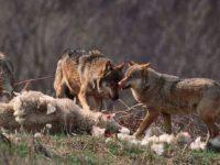Σε απόγνωση  κτηνοτρόφοι από τις επιθέσεις των λύκων