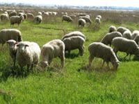 Επίσημη διάψευση σχετικά με πριμ αποχώρησης των κτηνοτρόφων για αποχώρηση από το επάγγελμα