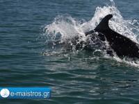 dolphin_kostas_pappas.jpg4