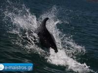 dolphin_kostas_pappas.jpg5