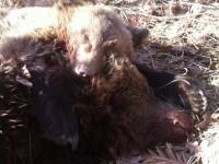 Καστοριά: Σκότωσαν μαμά αρκούδα και το αρκουδάκι