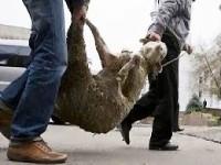 Σπείρα ζωοκλεφτών στην Αιτωλοακαρνανία είχε αφαιρέσει  7 πρόβατα – αρνιά, 310 κότες, 55 κουνέλια