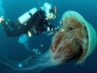 Σπάνια γιγαντιαία μέδουσα εντοπίστηκε στις ακτές της Μεσογείου