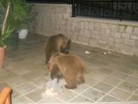 Μέτσοβο – Οι αρκούδες μπήκαν στις αυλές