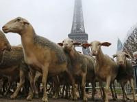 Πρόβατα κατέκλυσαν τον Πύργο του Άιφελ