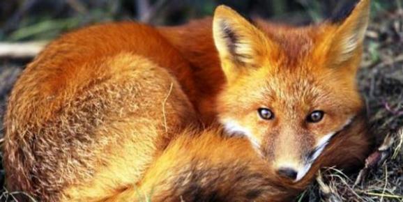 Ρίψεις εμβολίων για την λυσσα της κόκκινης αλεπούς σε όλη την Περιφέρεια Ηπείρου στο Δήμο Αμφιλοχίας και Δήμο Αγρινίου