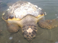 Συνεχίζεται με γοργούς ρυθμούς ο αφανισμός της θαλάσσιας χελώνας στον Αμβρακικό