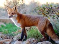 Πρόγραμμα εμβολιασμού των κόκκινων αλεπούδων –  Την προσοχή των πολιτών εφιστά το Τμήμα Κτηνιατρικής