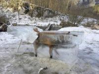 Αλεπού έπεσε σε ποτάμι και πάγωσε