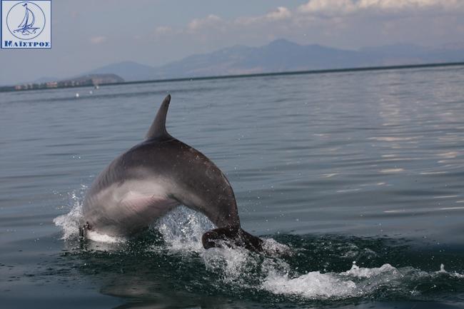 dolphin_amvrakikos (1)