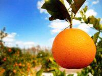 Ενημέρωση των καλλιεργητών εσπεριδοειδών για τον παθογόνο ιό της ΤΡΙΣΤΕΤΣΑΣ