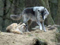 «Οι κτηνοτρόφοι και οι κάτοικοι της Αμφιλοχίας υποφέρουν από επιθέσεις λύκων»
