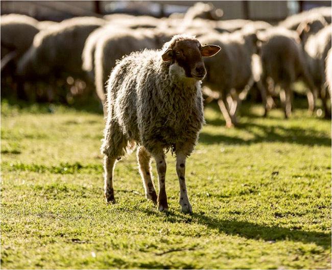 Οδηγίες προς κτηνοτρόφους για την προστασία από τον καταρροϊκό πυρετό
