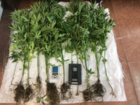 Συνελήφθη 36χρονος  για καλλιέργεια δενδρυλλίων κάνναβης