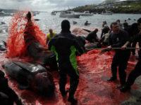 Kόκκινη η θάλασσα στα Νησιά Φερόε: Έσφαξαν 250 φάλαινες και δελφίνια