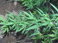 Βόνιτσα: Καλλιεργούσε σε γλάστρα – Μία Σύλληψη