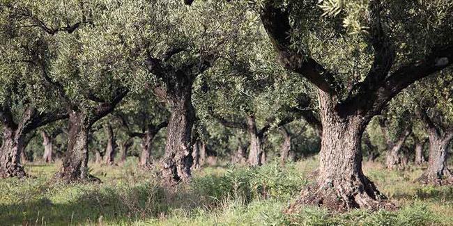 Γ. Παπαναστασίου: Επιστολή Δημάρχου σε Υπουργό για ακαρπία επιτραπέζιας ελιάς