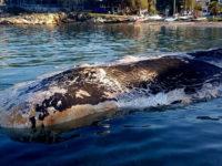 Φάλαινα στην Κερατέα: Μέχρι και μπαταρία αυτοκινήτου στο στομάχι της