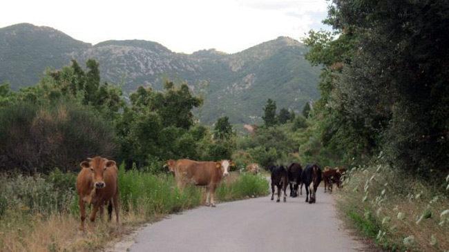 Ενημέρωση κτηνοτρόφων για την απαγόρευση κυκλοφορίας ανεπιτήρητων παραγωγικών ζώων (αιγοπροβάτων και βοοειδών).