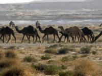 Αυστραλία: Πάνω από 10.000 καμήλες θα θανατωθούν επειδή «πίνουν πολύ νερό»
