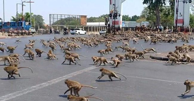 Εκατοντάδες πίθηκοι ψάχνουν φαγητό – Το σενάριο πως θα είναι ο πλανήτης χωρίς τον άνθρωπο