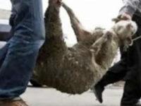 Ζωοκλέφτες πήραν από κτηνοτροφική μονάδα 20 πρόβατα