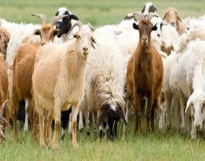 Άρτα: Η σφαγή των ζώων