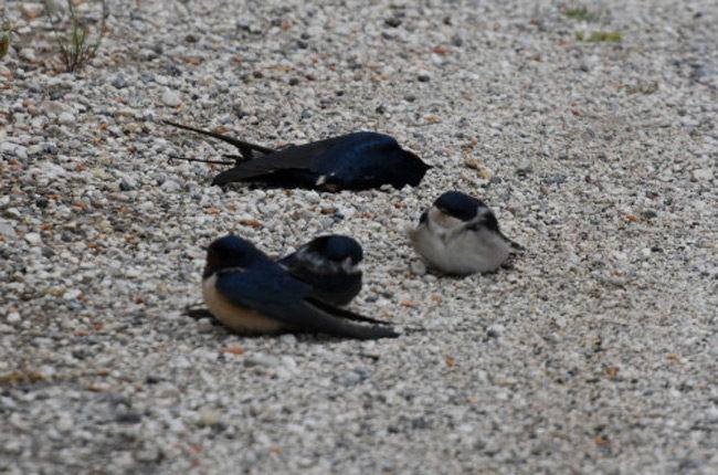 Χιλιάδες νεκρά μεταναστευτικά πουλιά σε δρόμους και πλατείες