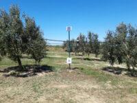 Smart Olive Grove: Άλμα ανταγωνιστικότητας της ελιάς Καλαμών με την ευφυή γεωργία
