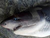 Πάτρα: Ψαράδες έβγαλαν καρχαρία στη στεριά με γερανό