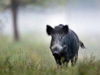 Γυμνός άνδρας τρέχει πίσω από αγριογούρουνα που του έκλεψαν το λάπτοπ – Εικόνες από το κυνηγητό