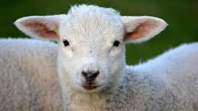 Το ακριβότερο πρόβατο του κόσμου – Πωλήθηκε έναντι 408.000 ευρώ σε δημοπρασία