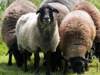 Άμεσα προληπτικά μέτρα για τον καταρροϊκό πυρετό καλούνται να λάβουν οι κτηνοτρόφοι της Ηπείρου