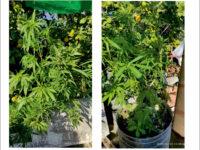 Σύλληψη για καλλιέργεια κάνναβης στο Στράτο Αγρινίου