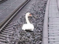 Γερμανία: Κύκνος που θρηνούσε το ταίρι του σταμάτησε την κυκλοφορία 23 τρένων