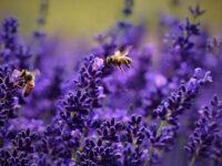 Υ μ ε ν ό π τ ε ρ α (Η Μέλισσα)