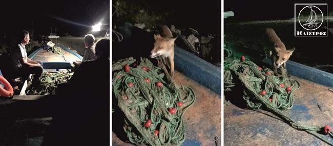 Αμφιλοχία: Αλεπού πάνω σε βάρκα την ώρα της διαλογής τρώει γαύρο και γαρίδες