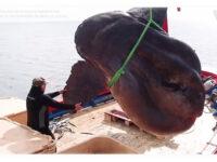 Απίστευτο και όμως αληθινό: Ισπανοί έβγαλαν ψάρι 2 τόνων